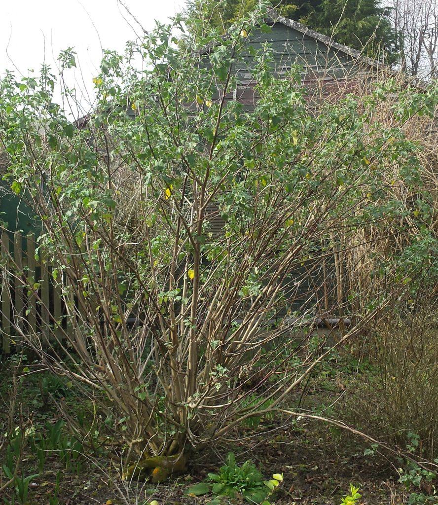Hard Pruning Shrubs In Spring Jas Gardening